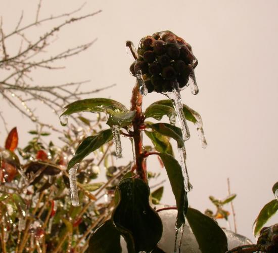 Le fruit du Lierre en hiver
