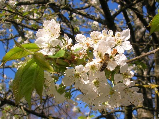 Abeille et fleurs de Cerisiers