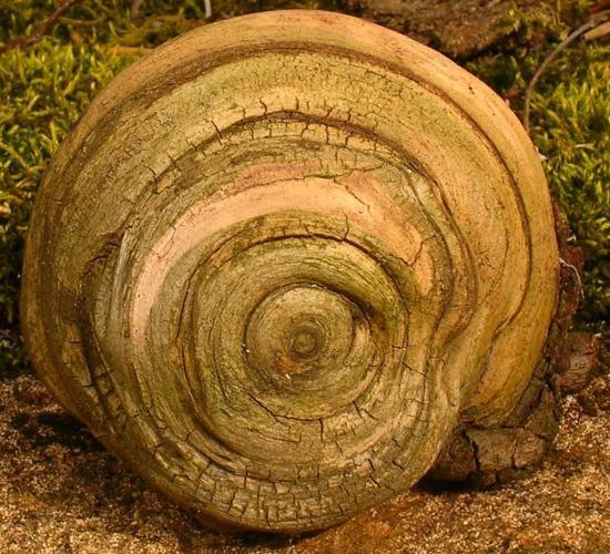 Une racine escargot