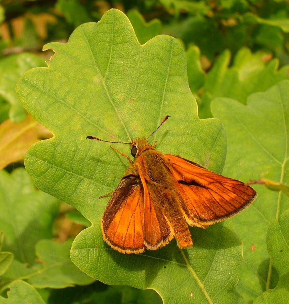 le papillon et la feuille de chêne